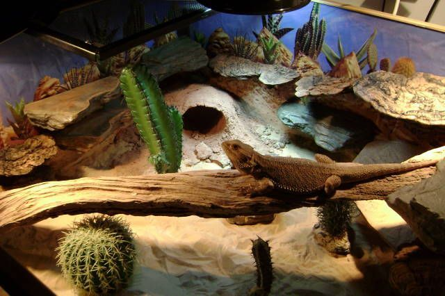 Desert Terrarium Decor Google Search Bearded Dragon Cage