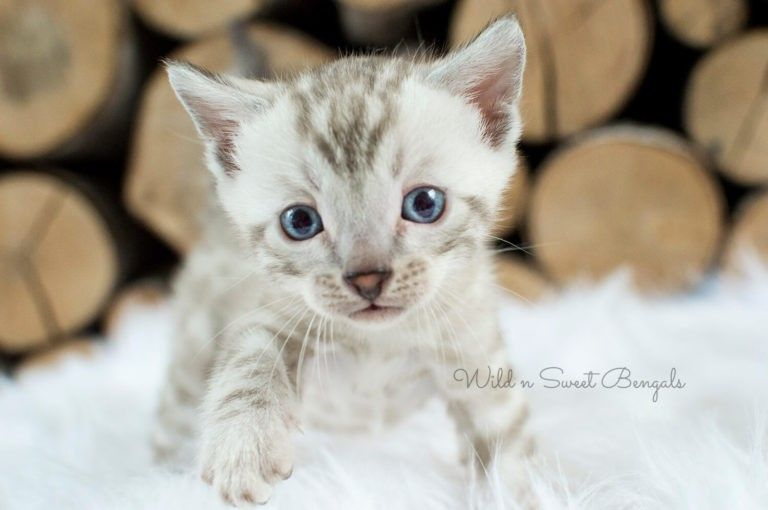 Bengal Kittens Cats For Sale Near Me Wild Sweet Bengals Bengal Kitten Bengal Cat Bengal Cat Kitten
