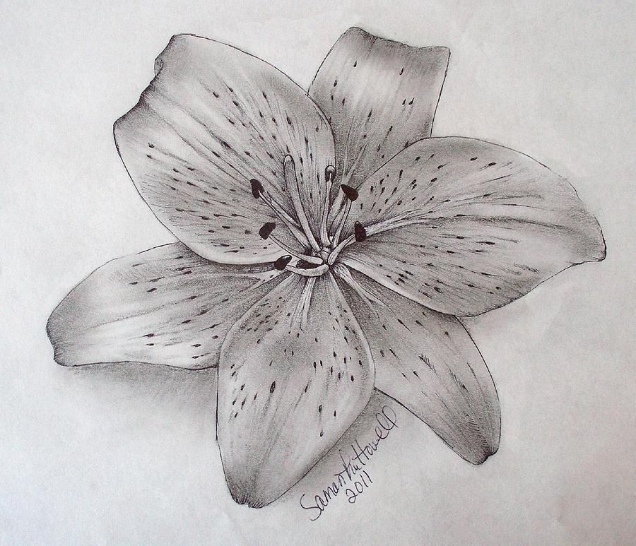 Tiger Lily is a drawing by Samantha Howell which was uploaded on ...