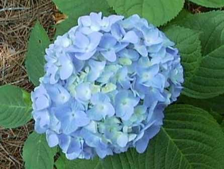 Pin By Kaitlyn Shermer On Landscape Design Uses For Coffee Grounds Hydrangea Coffee Grounds