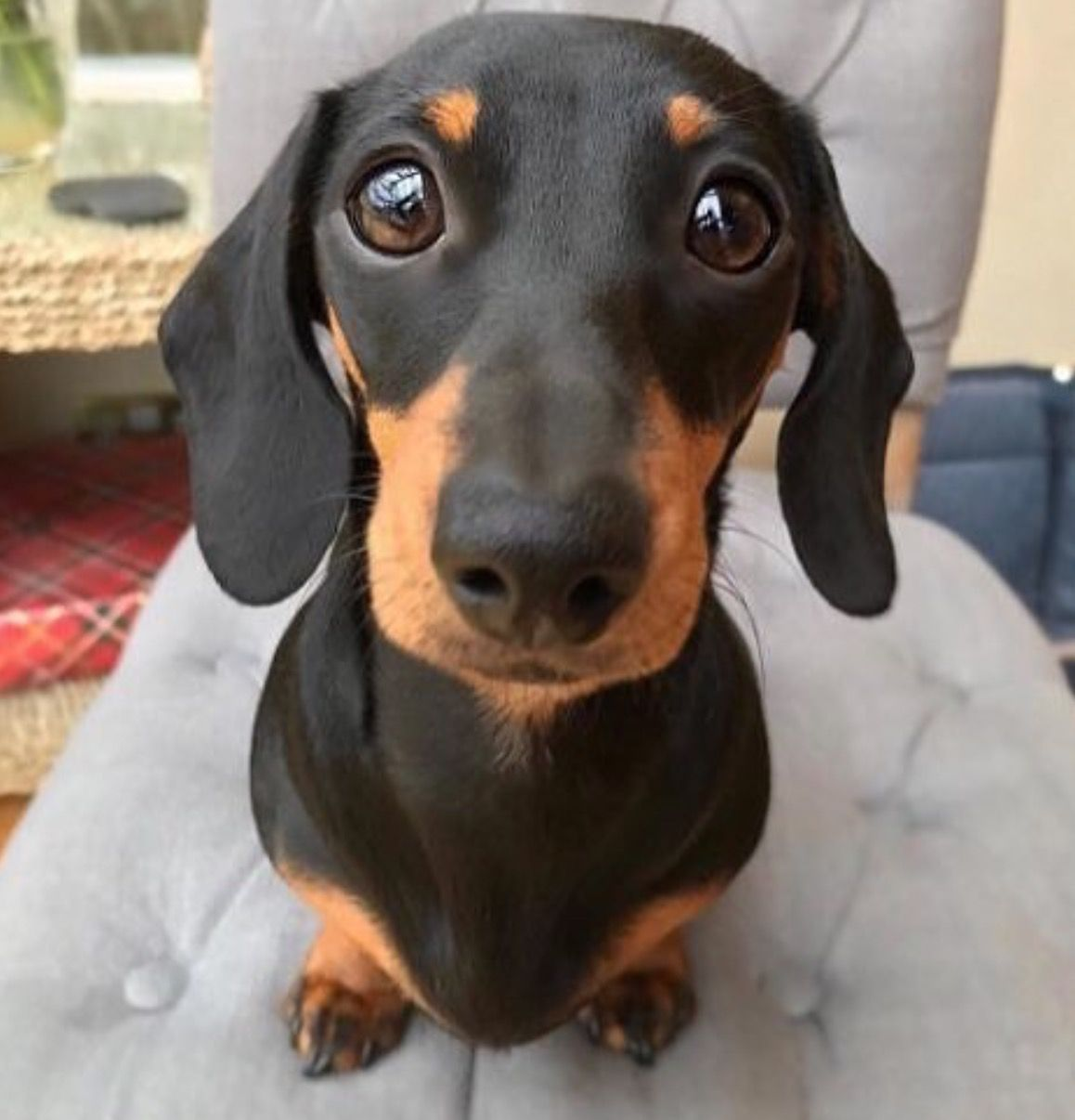 I Just Fall For That Face Baby Animals Funny Dachshund Lovers