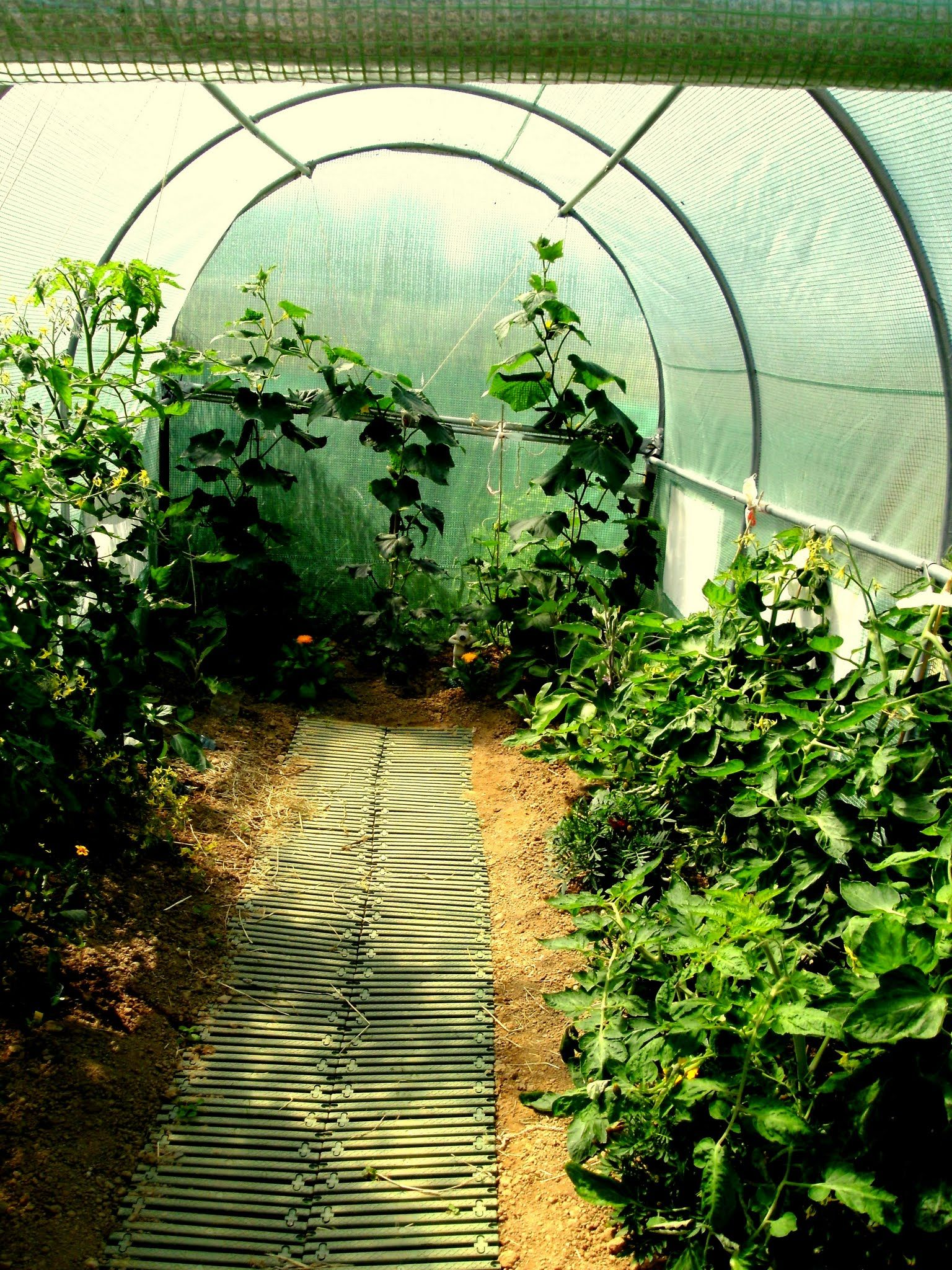 Polly Tunnel Toms, Aubergines & cucumbers...June 2012