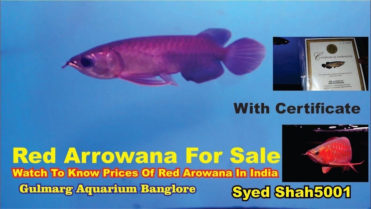 Arowana Fish For Sale In Bangalore Https Gofishing Netlify App Arowana Fish For Sale In Bangalore Html