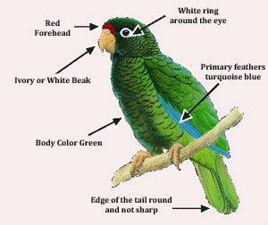 The Spectacular Puerto Rican Parrot