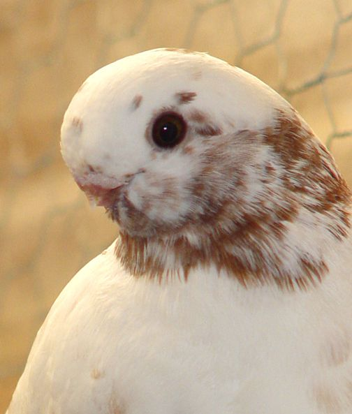 انواع حمام الزينة Dove Pigeon Animals Pigeon