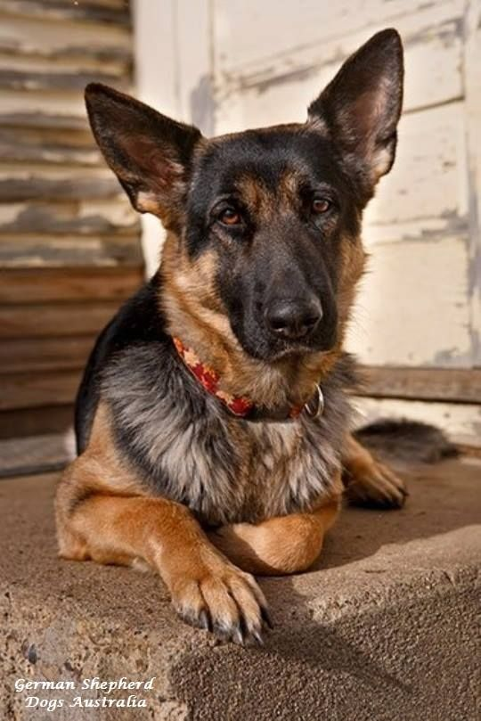 German Shepherd Dogs Australia Https Www Facebook Com German