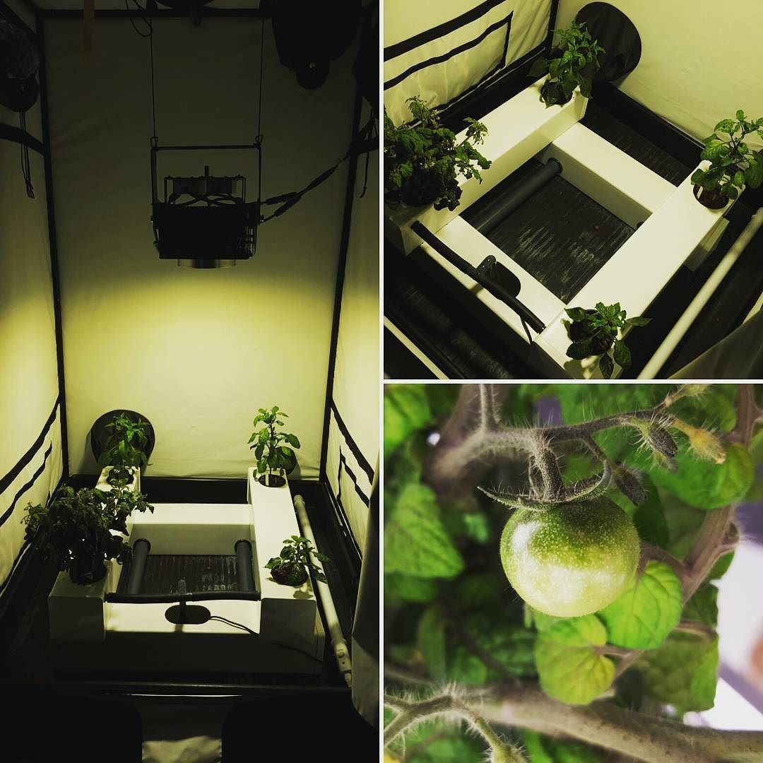 First Tiny Tim on the tomato plant in the bigger DHS Flow and Grow aeroponic system. Being bathed in light from a Spectrum King LED in a white Budbox grow tent. Joined by a ecoheater tube heater to keep the temperatures up! Check out our website for infor