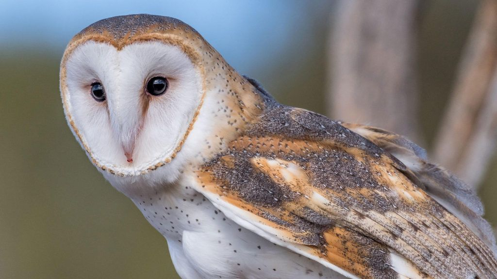 Pin by Fresh Boo on Nature Wallpapers in 2020 | Owl facts ...