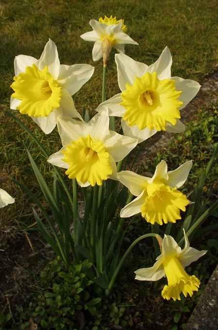 Daffodils Daffodils Plants Poisonous Plants