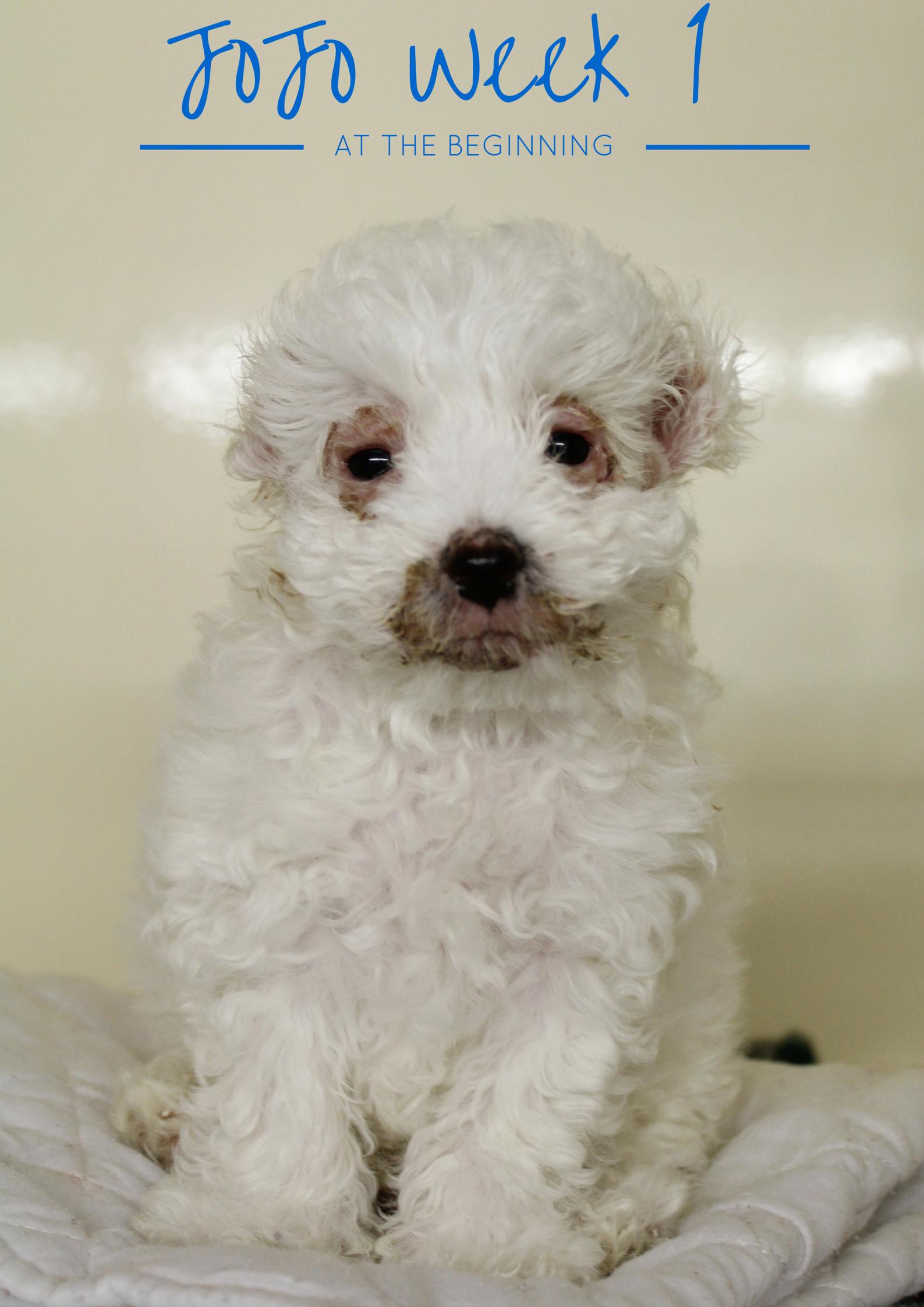 Puppy Strangles Juvenile Cellulitis Jojo S Story Dr Belinda The Vet Puppies Vets Jojo