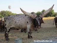 Large Horned Cattle-Watusi - $750 : farm+garden : Sanantonio