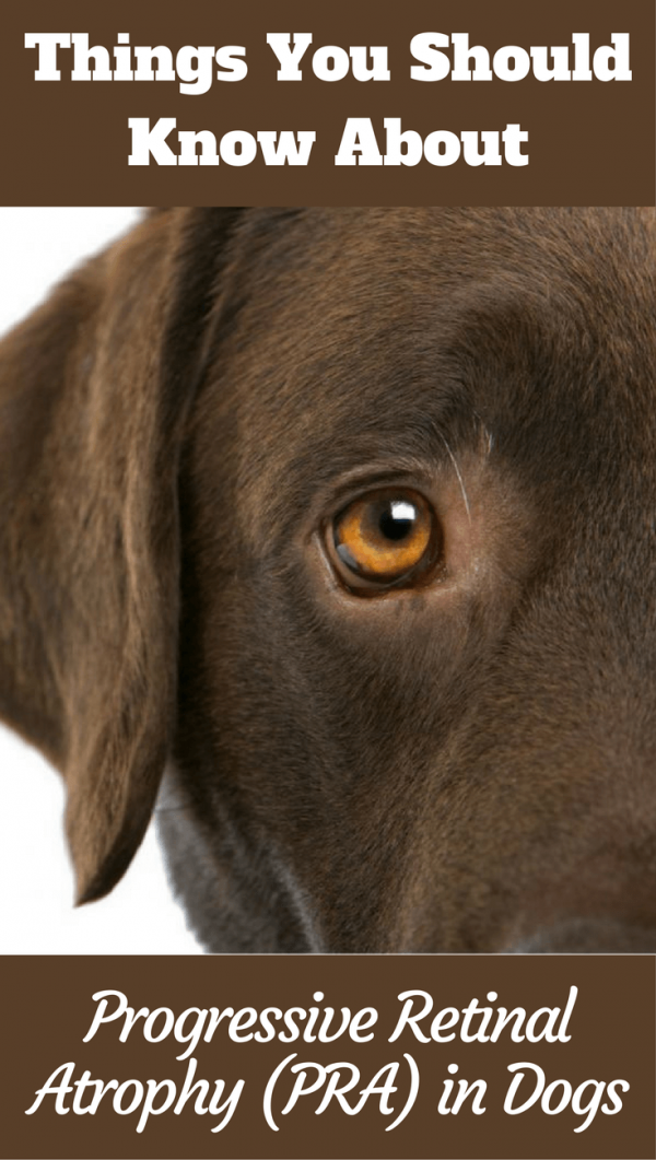 Progressive Retinal Atrophy Pra In Dogs What You Should Know Labrador Care Cute Dogs And Puppies Labrador Dog