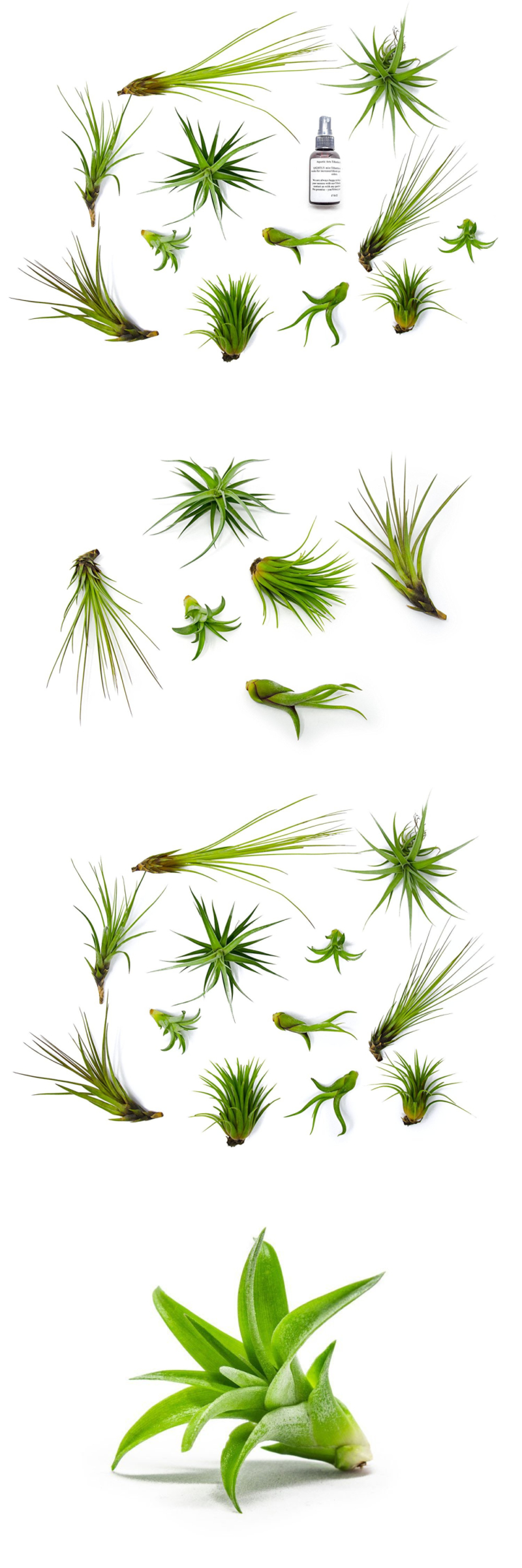 Live plants air plant terrarium kit tillandsia variety