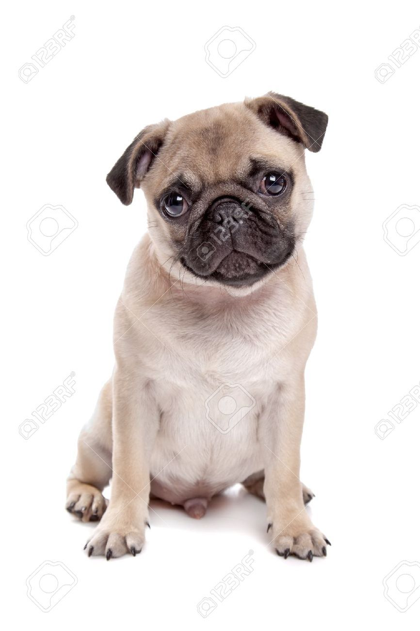 Pug Reference Photo Pugs Pug Dog Dog Breeds
