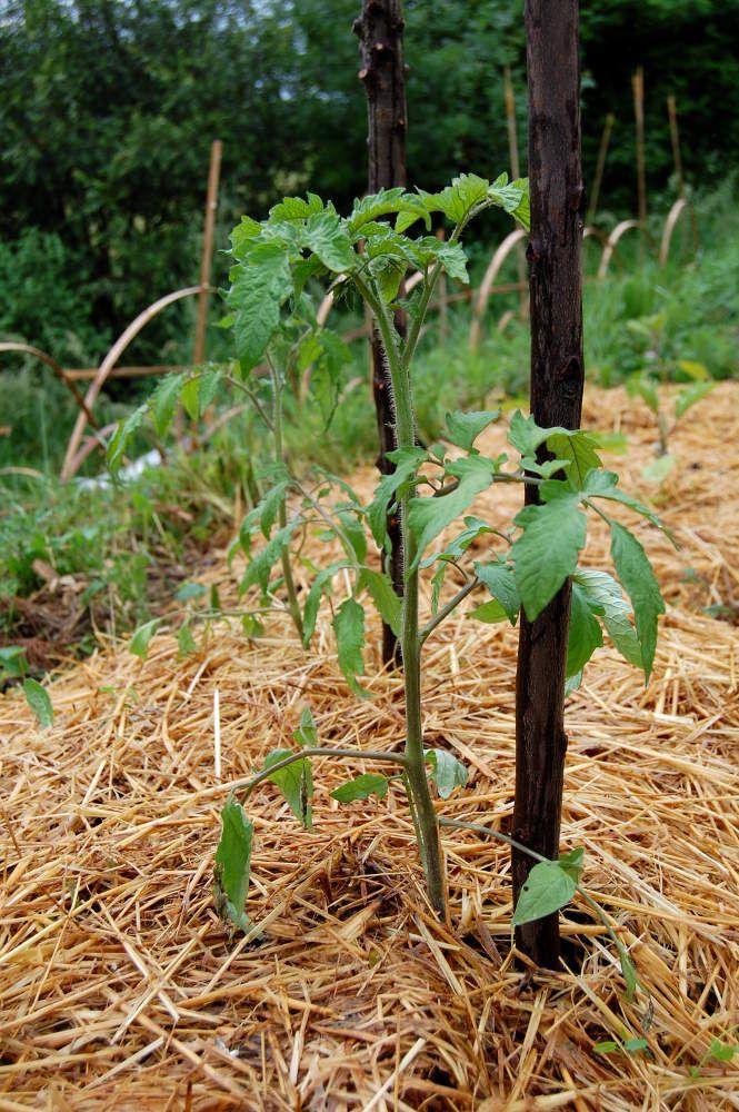 Comment planter ses tomates : techniques et conseils pour ...