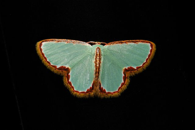 Chinese Jade Geometrid Moth (Comostola pyrrhogona, Geometrinae, Geometridae)