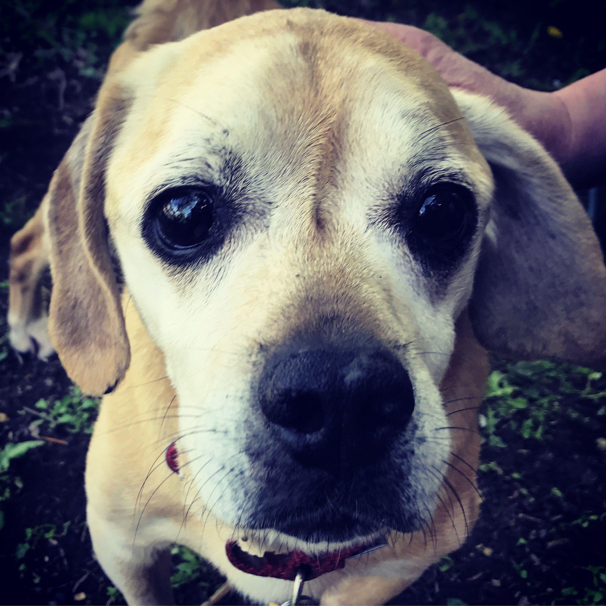 Puggle dog for Adoption in Shakopee, MN. ADN-564052 on PuppyFinder.com