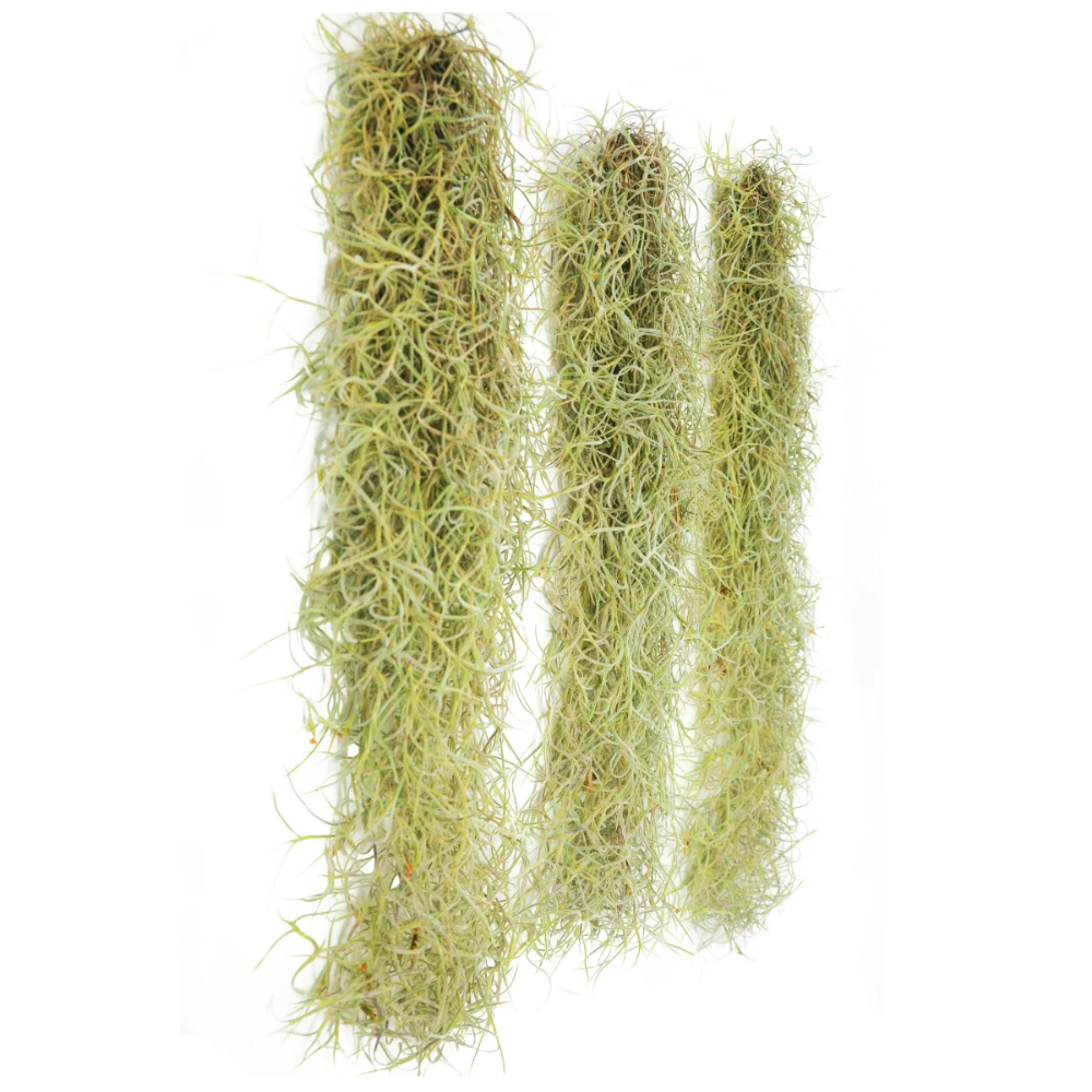 Angie S Spanish Moss Liked On Polyvore Oak Tree Drawings Spanish Moss Live Oak Trees