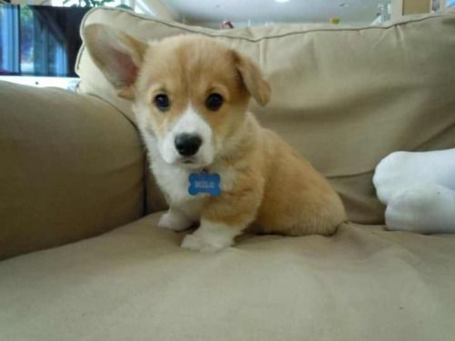 Floppy Eared Corgi Baby Dogs Puppies