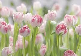 Afbeeldingsresultaat voor fotobehang roze tulpen