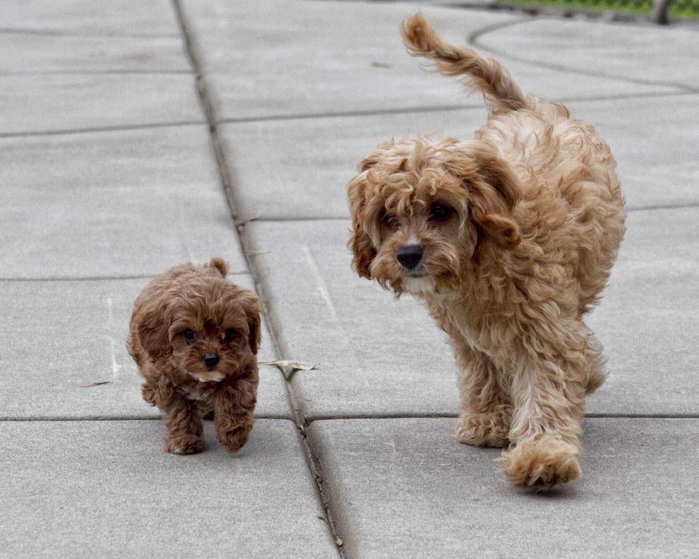 Cavapoo puppies 65 weeks apart in age 14weeks and 9