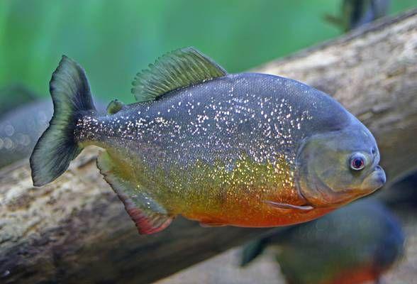 Piranha omg o o 1001 animals for Piranha fish tank