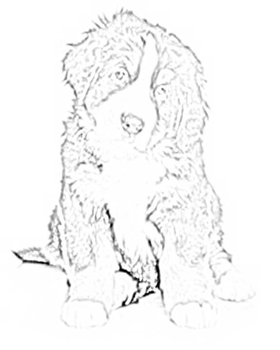 Bernese Mountain Dog Coloring Pages Dog Coloring Page Bernese