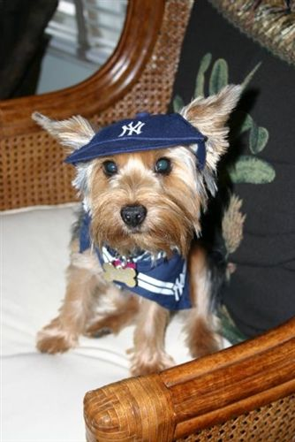 promo code 429db 6acd4 Awww what a cute dog with his Yankee gear on. He's all set ...