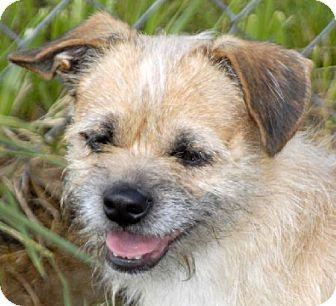 Border Terrier Shih Tzu Mix Meet Benji