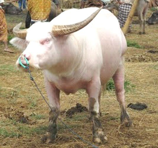 A true albino water buffalo (note the pale horns and total ...
