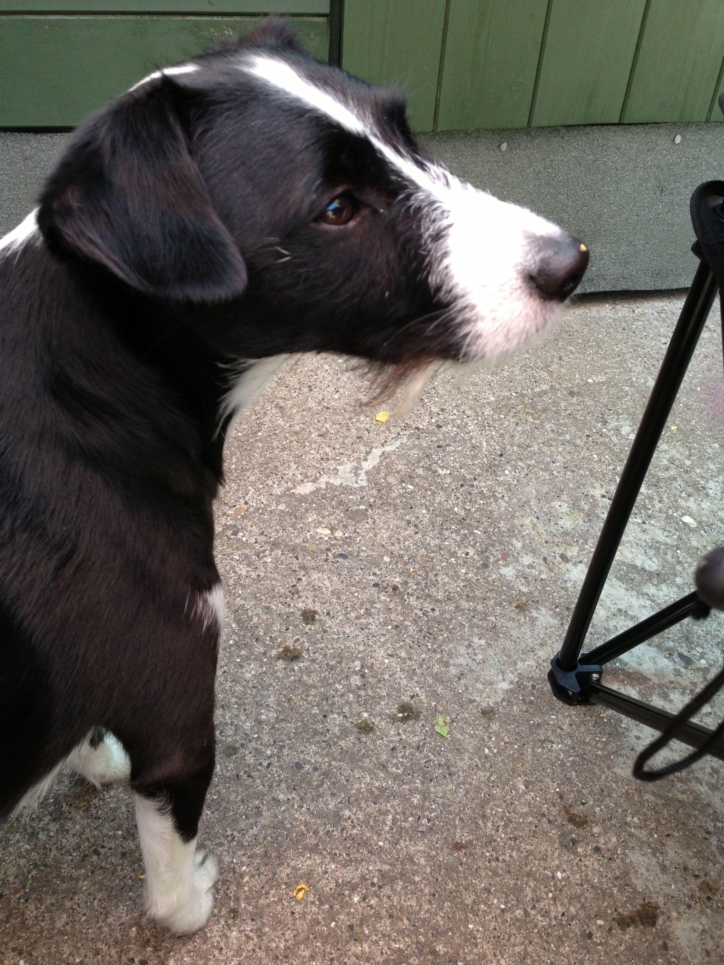 Patterdale Terrier Collie Cross Look At His Little Beard Awww