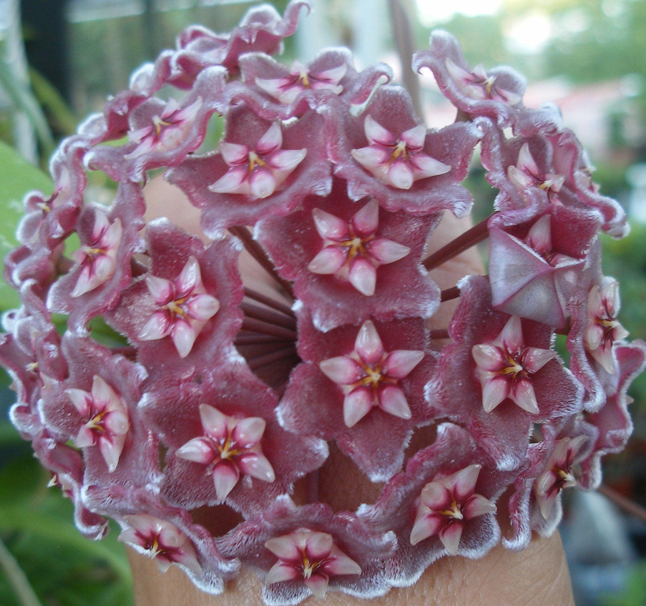 WAX PLANT Hoya Pubicalyx Porcelain Flower Planta de Cera