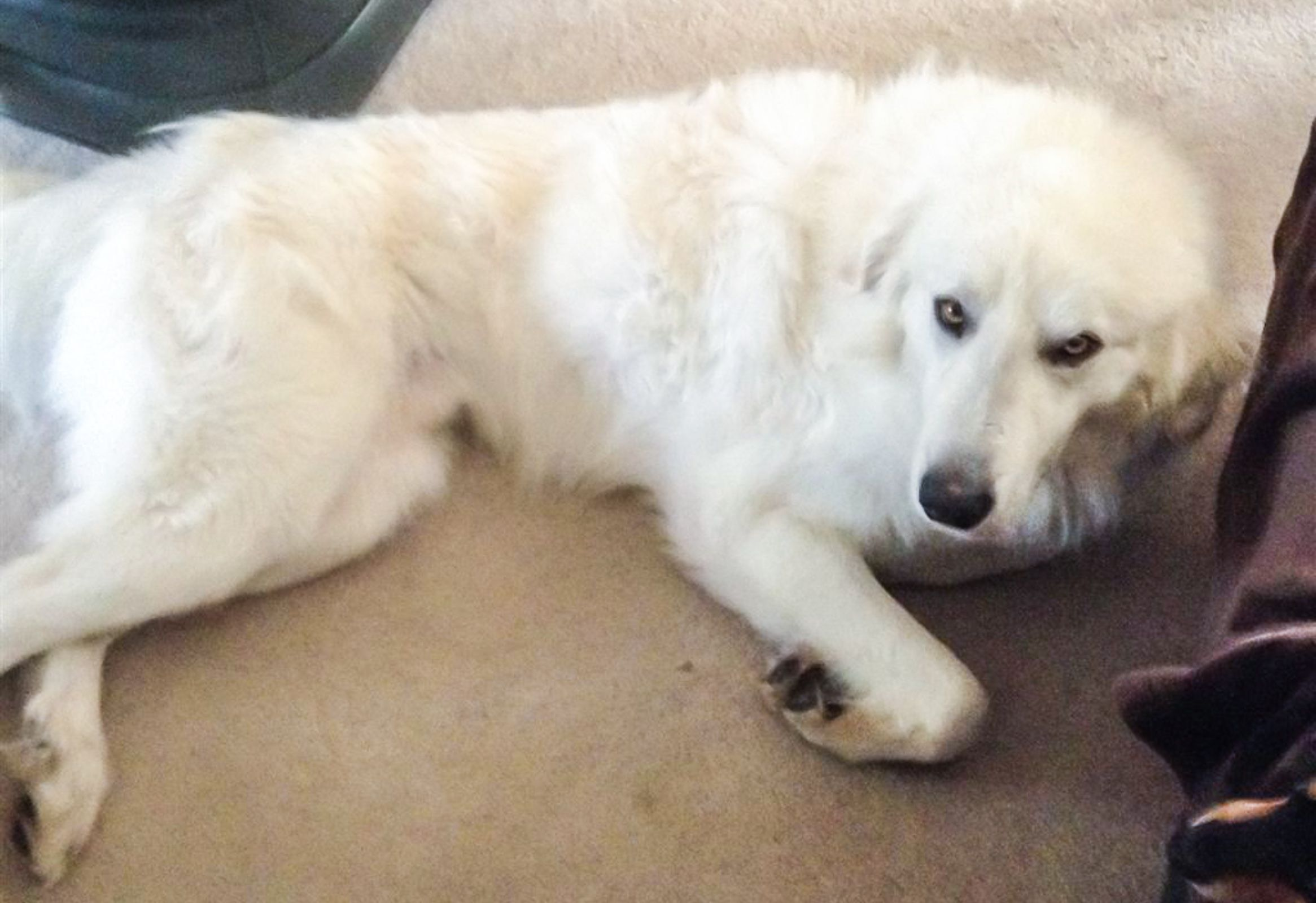 Found Dog Great Pyrenees Leesburg Oh United States 45135 On