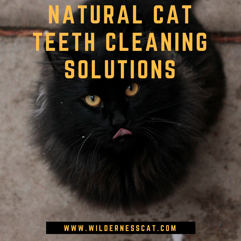 How to Clean Your Cat's Teeth Naturally 3 Teeth Cleaning
