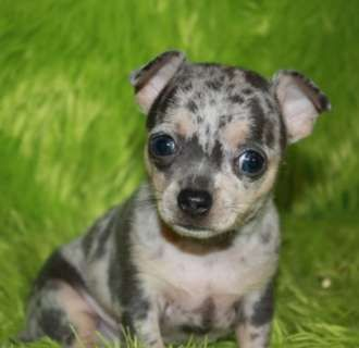 Apple Head Chihuahua Teacup Applehead Chihuahua Puppies Weigh