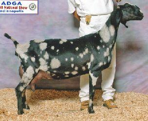 Kecmr Nubian Sr Does Pet Goat Livestock Goats Animals Beautiful