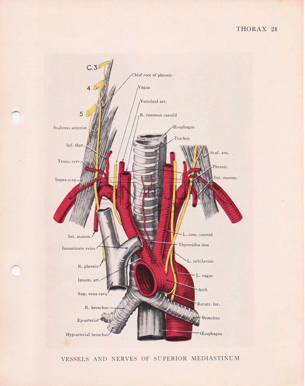 1930s vintage medical print vessels and nerves human
