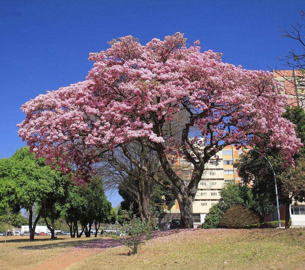 シンガポール桜