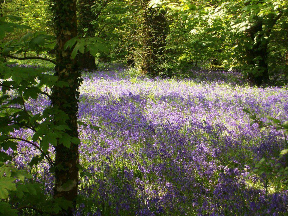 violette Wiese im Wald