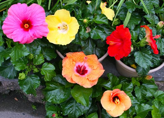 Tropical hibiscus come in so many brilliant colors, and the plants are easy to over-winter indoors.