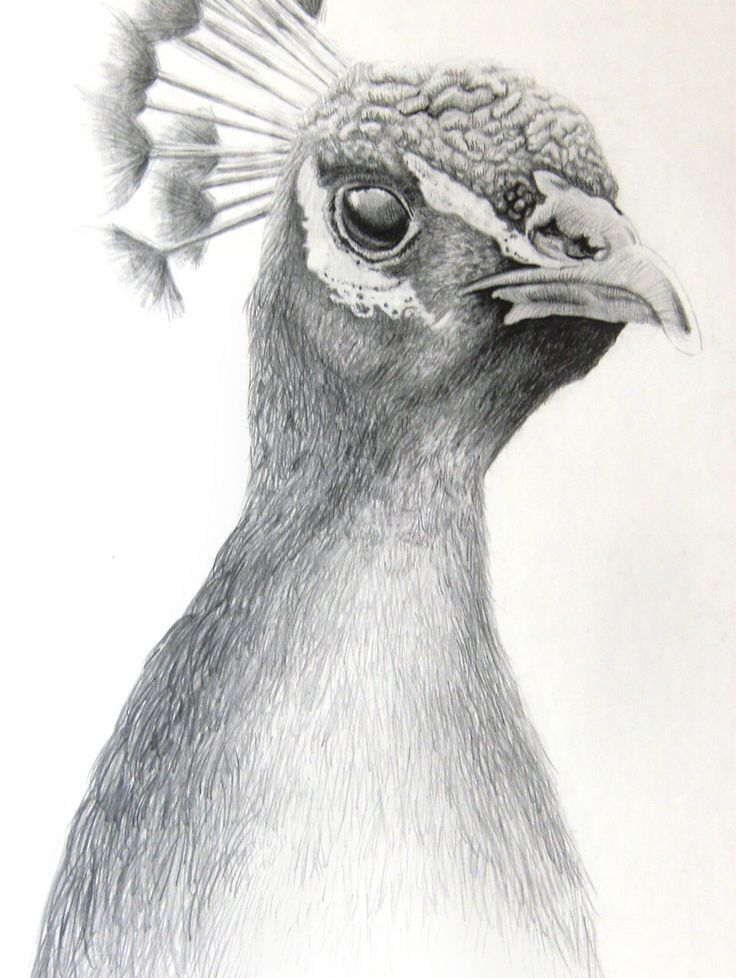 Peacock picture in pencil shades