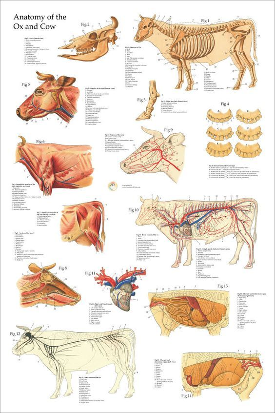 Oxcow Anatomy Poster 24 X 36 Animals And Pets Pinterest