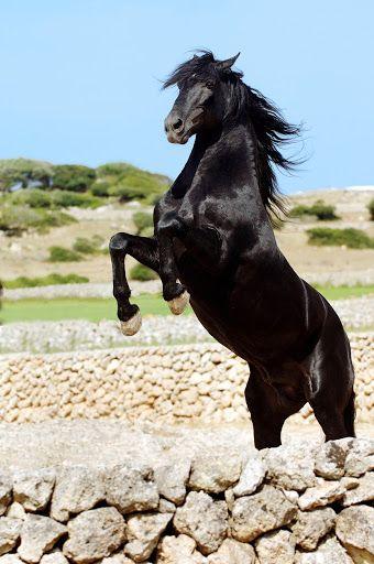 Picasa Web Albums - Menorca Horses. Illes Balears (Spain)