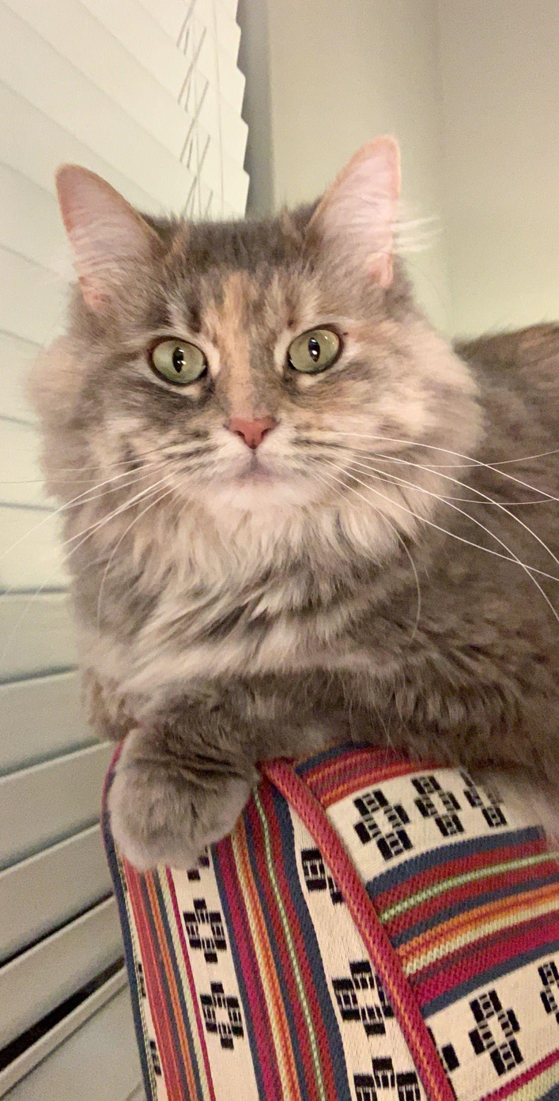 Allerpet Cat Dander Remover Cat Dander Cats Cat Allergies