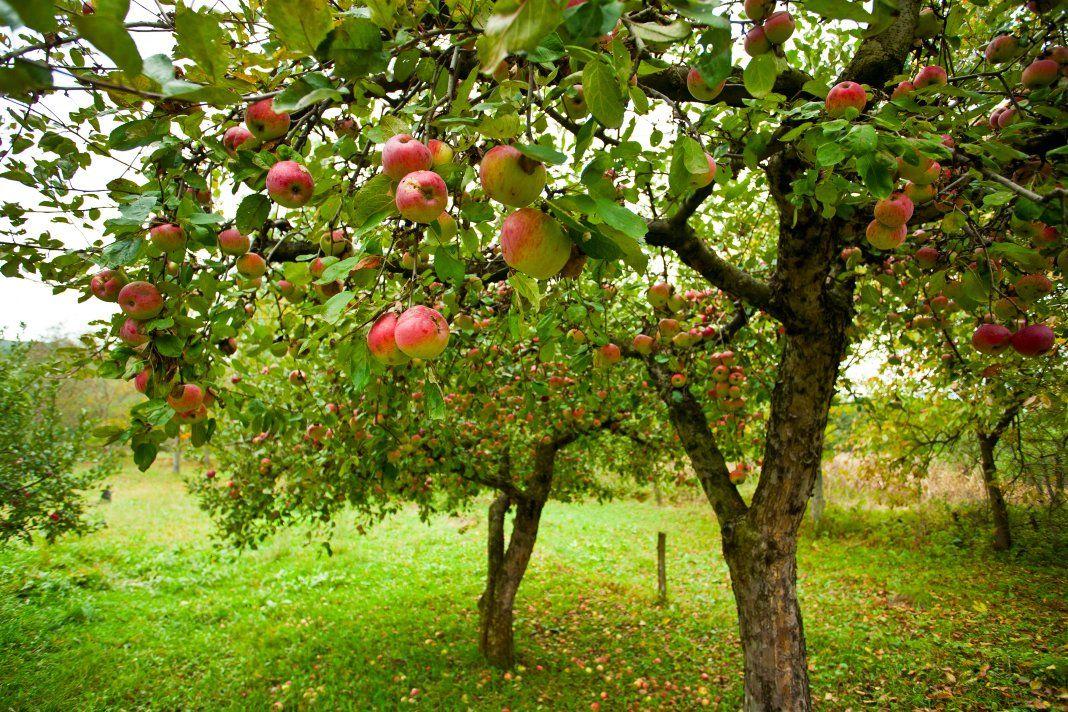 Осенние подкормки плодовых культур | Выращивание фруктовых ...  Фруктовый Сад Обои