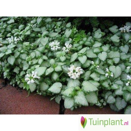 Afbeeldingsresultaat voor Lamium maculatum 'White Nancy' (Dovenetel)