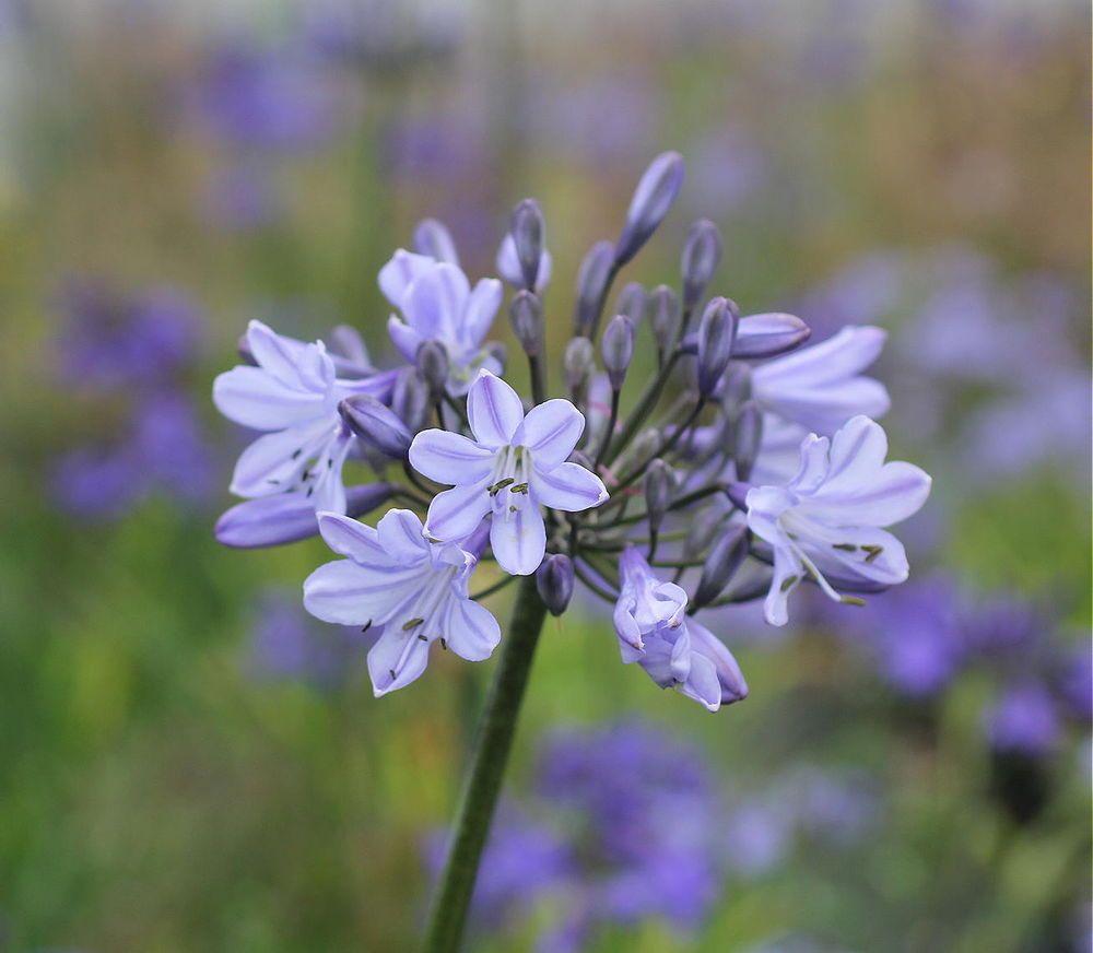 3 New Agapanthus Oslo Pale Violet Blue Flowers Excellent Garden