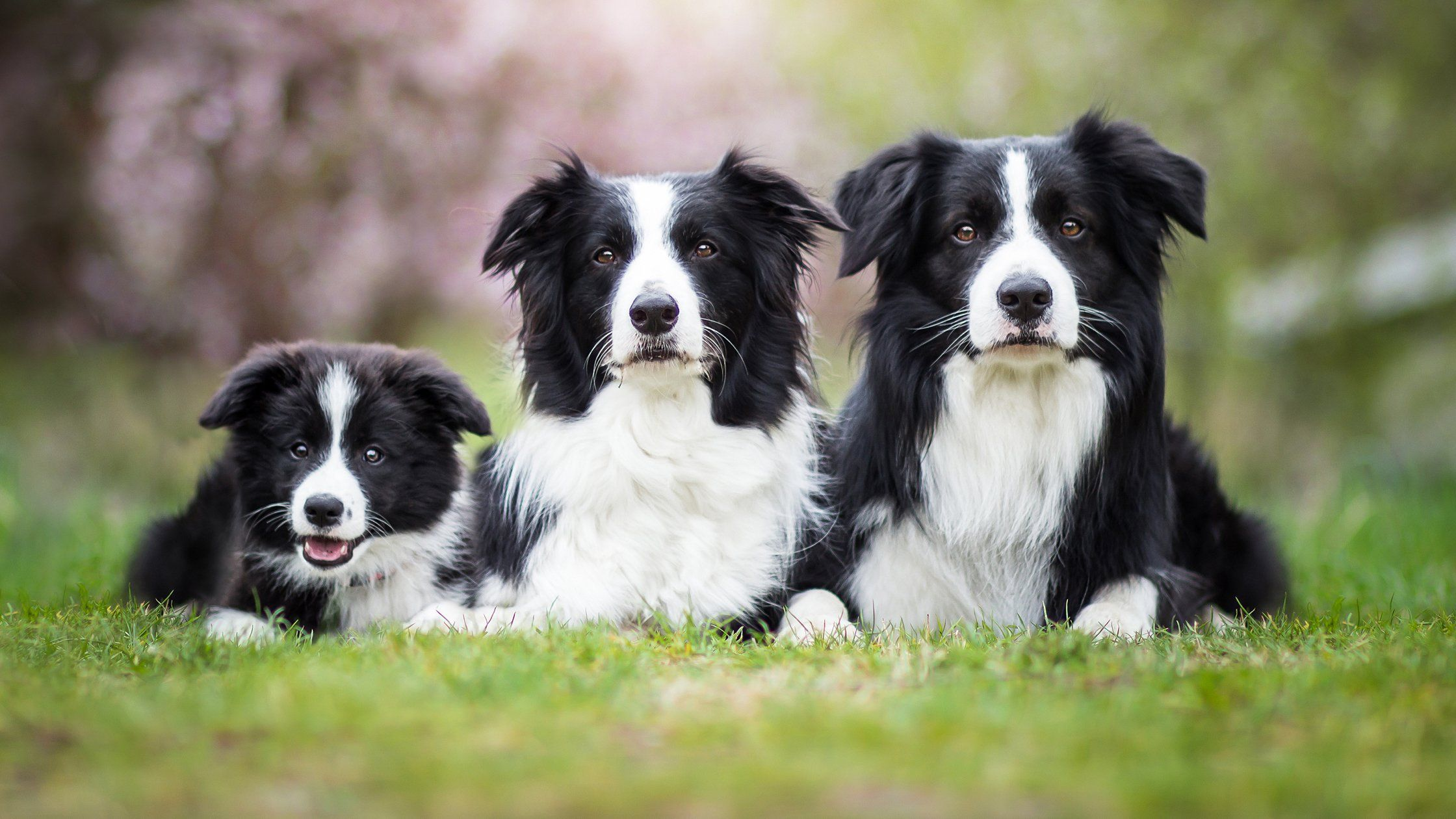 Border Collie Puppies For Sale Near Maine From Certified Border