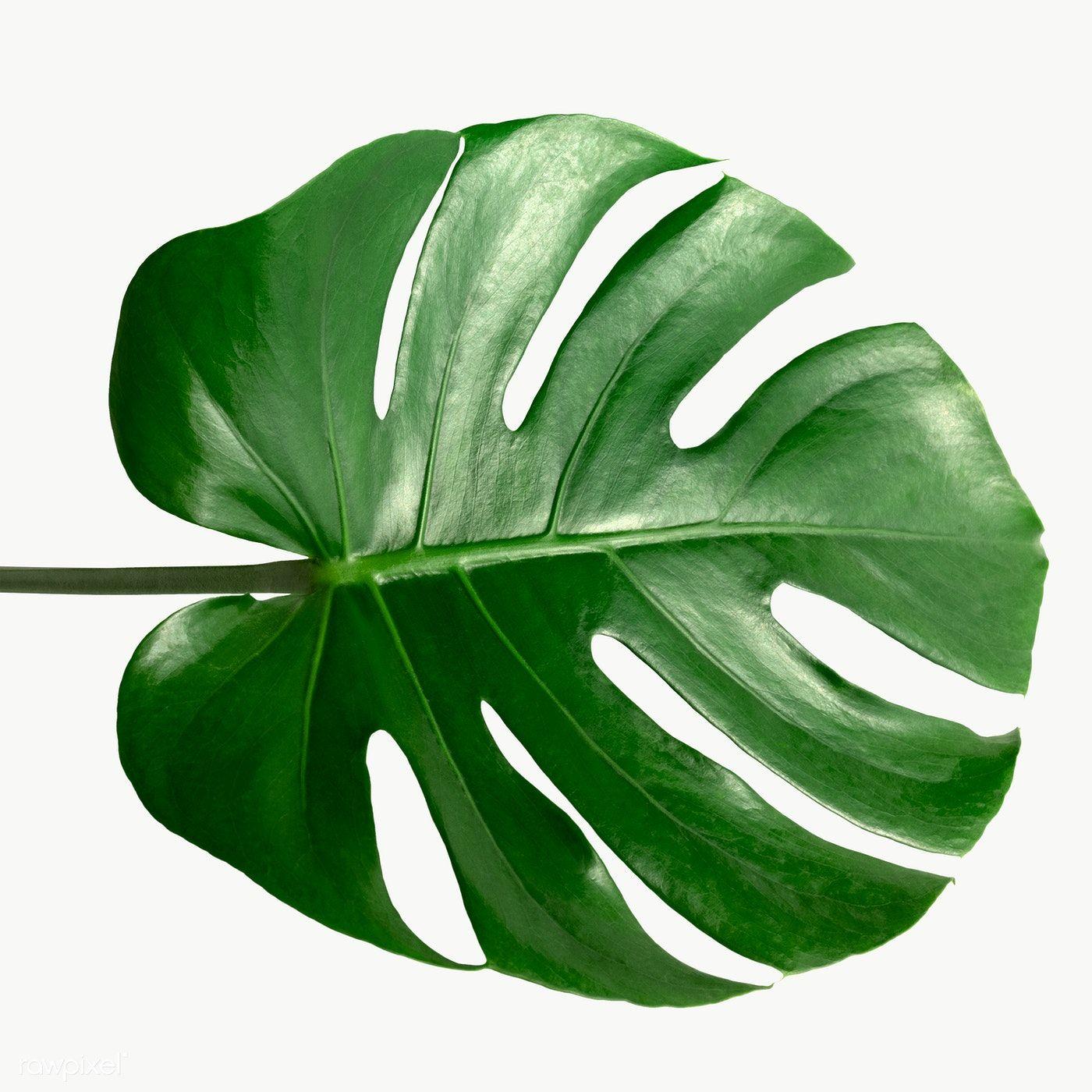 Split Leaf Philodendron Monstera Plant Element Transparent Png Free Image By Rawpixel Com Teddy Rawpixel Monstera Philodendron Philodendron Monstera