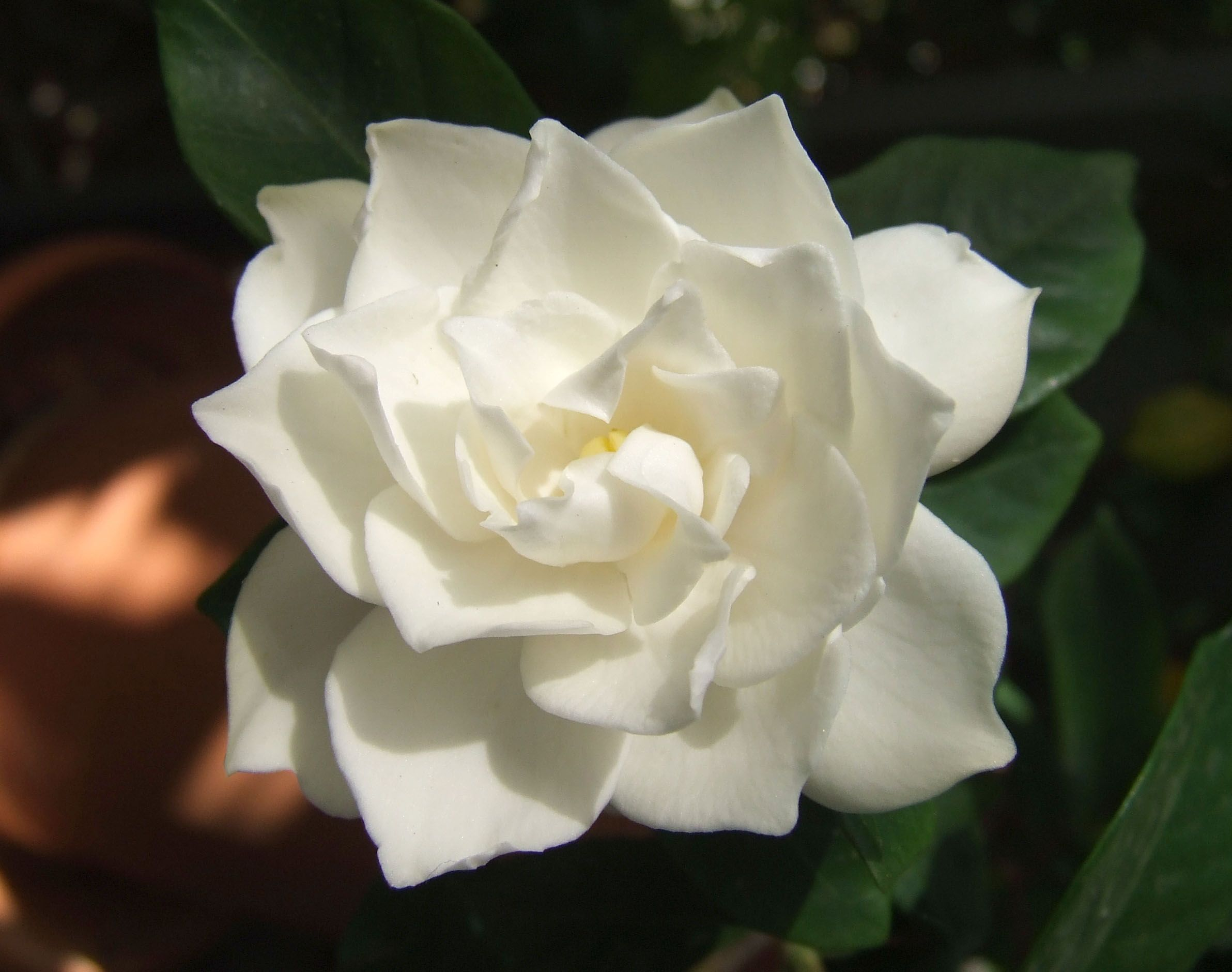 The Gardenia Is In The Same Family As Coffee.   Gardenias Are Popular Due